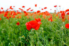 Red blooming poppy, huge field of blossoming Stock Photos