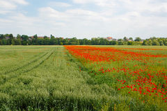 Red blooming poppy, huge field of blossoming Royalty Free Stock Photos