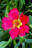 Red blooming portulaca Royalty Free Stock Photo