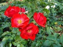 Red blooming rose grows in the city garden stock photography