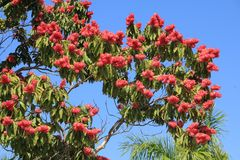 Red blooming tree Stock Photo