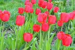 Red blooming tulips on the background of Green lawn royalty free stock photography