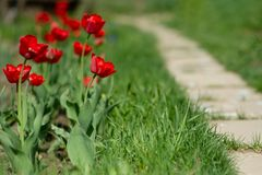 Red blooming tulips on the background of Green lawn. royalty free stock image
