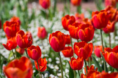 Red blooming tulips in spring. Stock Images