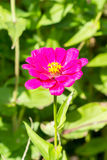 Red Blooming Zinnias Close Up, Stock Images