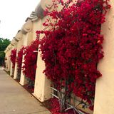 Red blooms on climbing vines on stucco wall. In Balboa Park, San Diego, California. Flanked by arched windows stock images