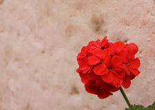 The red blooms of a Geranium. The red blooms of a Pelargonium or Geranium blooming at the Monastery of Santa Catalina in Arequipa, Peru stock photography