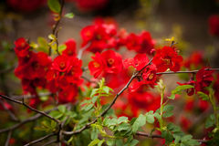 Red  blossom Stock Photography