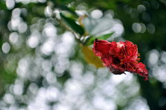 Red blossom. Flower caught at the end of the bloom Royalty Free Stock Photo