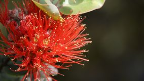 Ohia Lehua blossom Royalty Free Stock Images