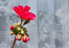 Red blossom of pelargonium royalty free stock image