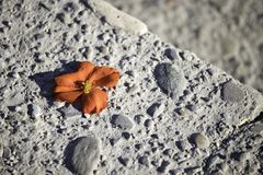 Red blossom on the stone floor. Innocent red blossom on the rough stone flower floor tender hard bloom flush beautiful text space blurred burry endearing lost stock photo