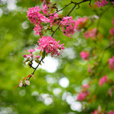 Red blossom tree blooming in spring Stock Photos
