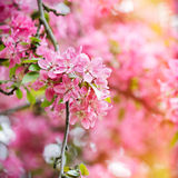 Red blossom tree blooming in spring Stock Images