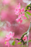Red blossom tree blooming in spring Stock Image