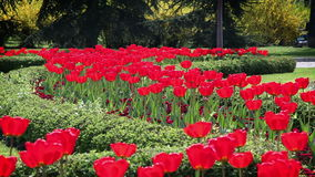 Red blossom tulips in garden. Shot of red blossom tulips in garden stock video footage