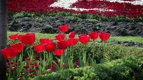 Red blossom tulips and other flowers. Shot of red blossom tulips and other flowers stock video footage