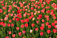 Red blossom tulips grow Stock Photos