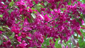 Red blossoming apple tree stock video footage