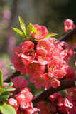 Red blossoming bush Stock Image