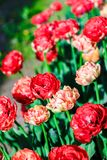 Red blossoming double late tulips on spring meadow. Blooming flowers. Natural background. Royalty Free Stock Photos