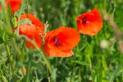 Red blossoming poppies close up stock image