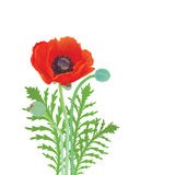 Red blossoming poppy on a white background. Royalty Free Stock Photo