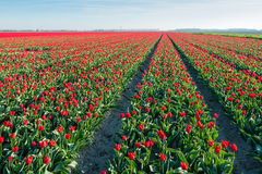 Red blossoming tulips in long rows in the field Royalty Free Stock Photo