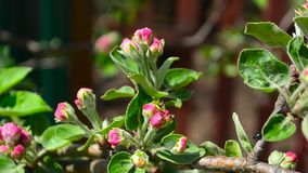 Red blossoms Apple on a branch swings in wind stock footage