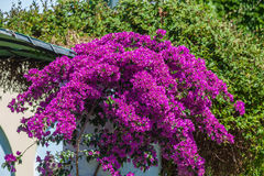 Red Blossoms of Bougainvillea spectabilis, Thessaloniki Royalty Free Stock Photo
