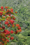Red Blossoms of Flame Tree Royalty Free Stock Photos