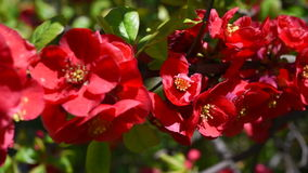 Red blossoms macro stock video footage