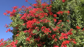 Red blossoms on tree in India Stock Photos
