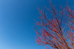 Red on blue. Autumnal colours off set against clear blue sky Royalty Free Stock Photos