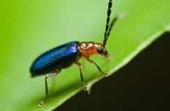 A red and blue beetle oulema melanopus. Royalty Free Stock Image