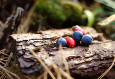 Red and blue berries on an old stump Royalty Free Stock Photo