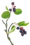 Red and  blue berries on a tree branch Royalty Free Stock Images