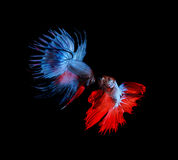 Red and blue betta fighting fish top form preparing to fight iso Stock Photos