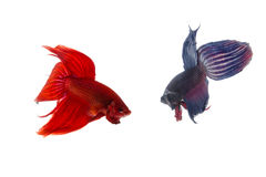 Red and blue betta fish, siamese fighting fish isolated on white Stock Images