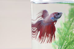 Red and Blue Betta Fish in Tank Stock Photos