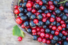 Red and blue black currant. In garden Stock Images