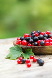 Red and blue black currant in garden. Red and blue (black) currant in the garden Stock Images