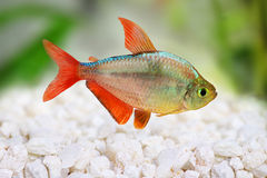 Free Red-blue Columbian Tetra Hyphessobrycon Columbianus Stock Images - 45626074