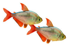 Red-blue Columbian Tetra Hyphessobrycon columbianus aquarium fish isolated. On white background with clipping path royalty free stock image