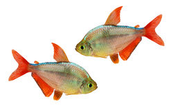 Red-blue Columbian Tetra Hyphessobrycon columbianus aquarium fish isolated. On white background with clipping path Stock Photos