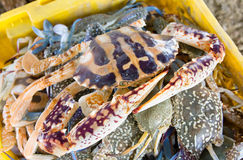 Red blue crab in yellow basket. Raw red blue crab in yellow basket Stock Photography