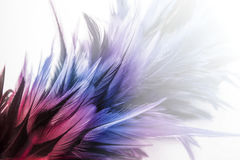 Red and blue feathers. Over white background stock photography