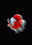 Red blue fighting fish Royalty Free Stock Photography