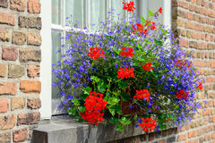 Red and blue flowering plants in a flower box Stock Images