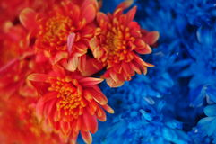 Red and blue flowers. Beautiful red and blue flowers Royalty Free Stock Images